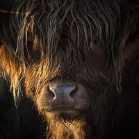Buy canvas prints of Highland Cow, Backlit, Derbyshire by Susan MacCallum-Stewart