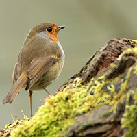Buy canvas prints of Robin red breast by Jonathan Thirkell
