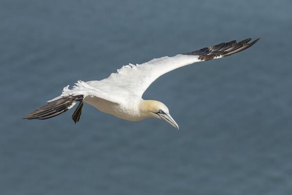 Gannet in flight Framed Print by Jonathan Thirkell