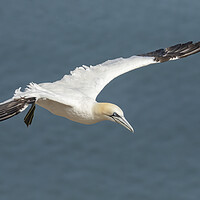 Buy canvas prints of Gannet in flight by Jonathan Thirkell