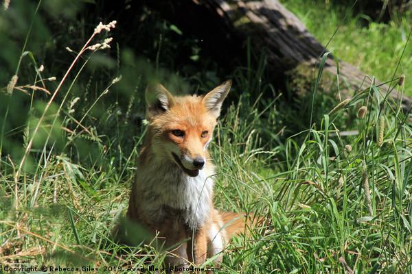 Fox in the summer sun Canvas print by Rebecca Giles