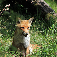 Buy canvas prints of Fox in the summer sun by Rebecca Giles
