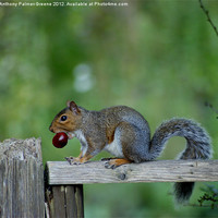 Buy canvas prints of Squirrel by Anthony Palmer-Greene