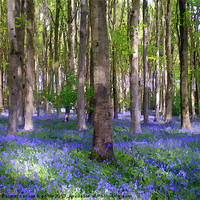 Buy canvas prints of A carpet of bluebells! by Paula Palmer canvas & prints