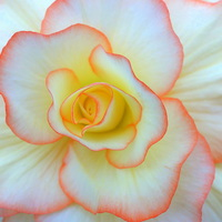 Buy canvas prints of  Begonia flower by Paula Palmer canvas & prints