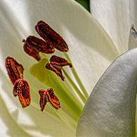 Buy canvas prints of White Lily (Digital Art) by John Wain