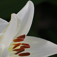 Buy canvas prints of White Lily (Digital Art) by John Wain
