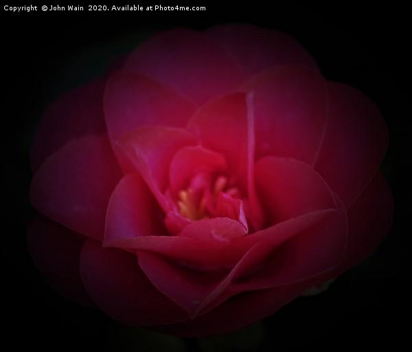 Pink Camellia Canvas print by John Wain
