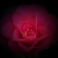 Buy canvas prints of Pink Camellia by John Wain