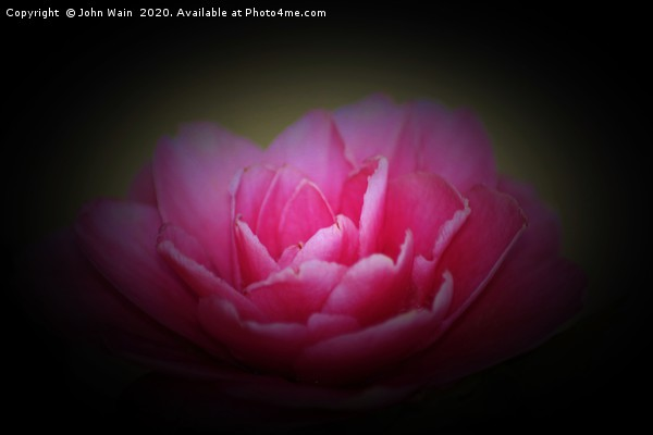 Pink Camellia Canvas print by John Wain