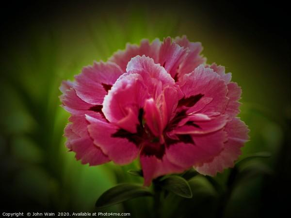 Pink Carnation (Digital Art) Framed Mounted Print by John Wain