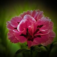 Buy canvas prints of Pink Carnation (Digital Art) by John Wain
