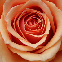 Buy canvas prints of Rose by Amber Osburn