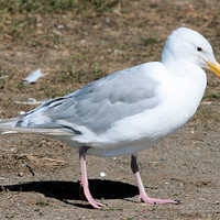 Buy canvas prints of Glacous winged gull 2 by Ruth Hallam