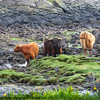 Buy canvas prints of Highland Cattle by Ruth Hallam