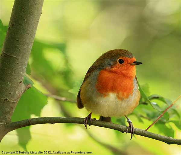 Robin Red Breast, Erithacus rubecula Canvas print by Debbie Metcalfe