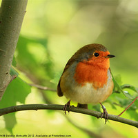 Buy canvas prints of Robin Red Breast, Erithacus rubecula by Debbie Metcalfe