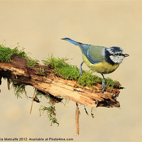 Buy canvas prints of Blue Tit - Cyanistes by Debbie Metcalfe