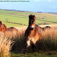 Buy canvas prints of Ponies on Exmoor by Debbie Metcalfe