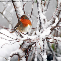 Buy canvas prints of Robin in the snow by Debbie Metcalfe