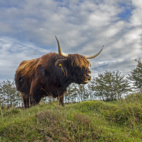 Buy canvas prints of Highland Cow by Debbie Metcalfe