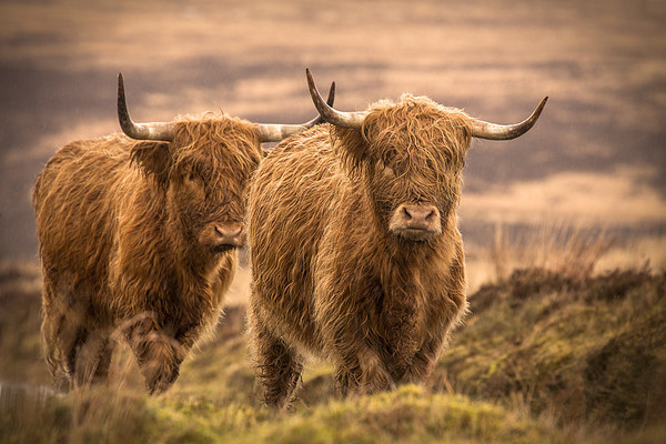 Highland Cattle Canvas print by Debbie Metcalfe