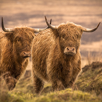 Buy canvas prints of Highland Cattle by Debbie Metcalfe