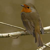 Buy canvas prints of Beautiful Robin by Debbie Metcalfe