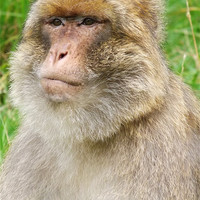 Buy canvas prints of Barbary Macaque by Sam Pattison