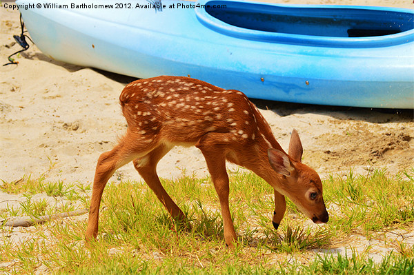Fawn Framed Mounted Print by Beach Bum Pics