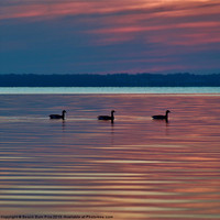 Buy canvas prints of Ducks in a Row by Beach Bum Pics