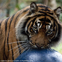 Buy canvas prints of Sumatran Tiger by UK Landscape Canvas by Graham Custance
