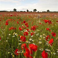 Buy canvas prints of Poppy Field by UK Landscape Canvas by Graham Custance