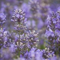 Buy canvas prints of Lavender by UK Landscape Canvas by Graham Custance