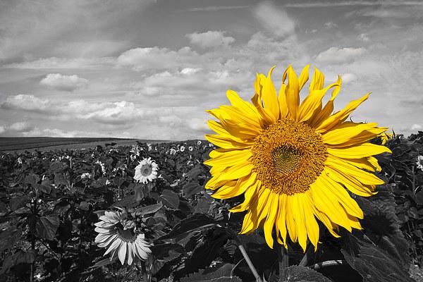 Sunflower Canvas print by UK Landscape Canvas by Graham Custance