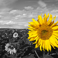 Buy canvas prints of Sunflower by UK Landscape Canvas by Graham Custance