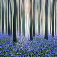 Buy canvas prints of Bluebell Woods by Graham Custance