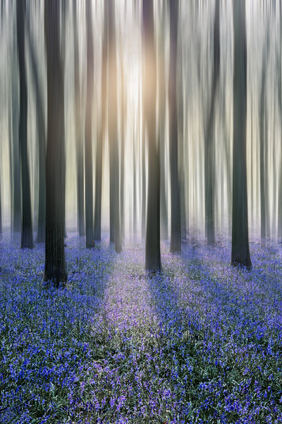 Bluebell Woods Canvas print by Graham Custance