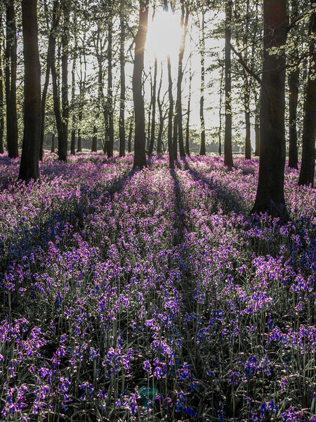 Bluebells in Spring Print by Graham Custance