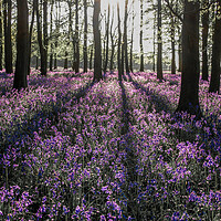 Buy canvas prints of Bluebells in Spring by Graham Custance