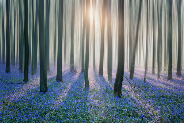 Bluebell Woods Print by Graham Custance