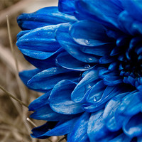 Buy canvas prints of blue flower by farah ali