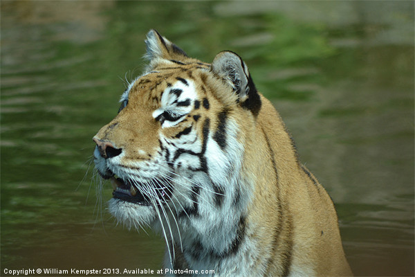 Aysha The Tiger Canvas Print by William Kempster