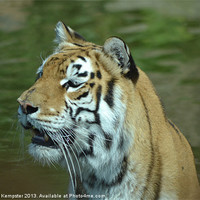 Buy canvas prints of Aysha The Tiger by William Kempster