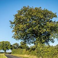 Buy canvas prints of Oak Trees, North Walsham by David Woodcock
