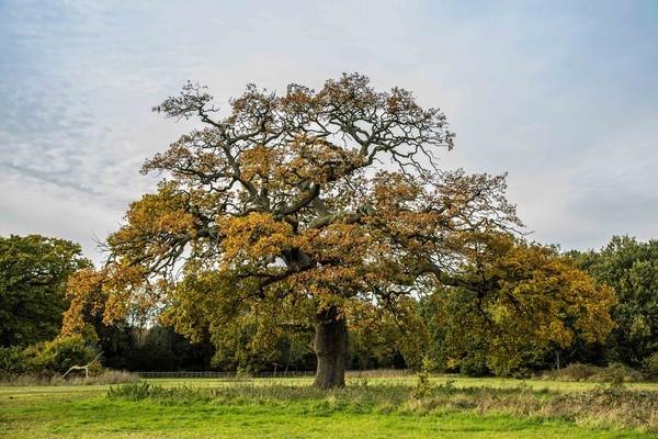 Oak Tree, Catton Park Canvas print by David Woodcock