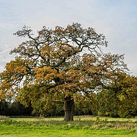 Buy canvas prints of Oak Tree, Catton Park by David Woodcock