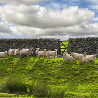Buy canvas prints of Sheep of Dartmoor by Abdul Kadir Audah