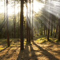 Buy canvas prints of Sunbeams through the trees by Paul Madden