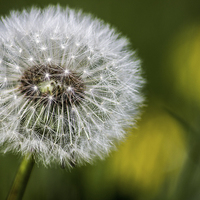 Buy canvas prints of Dandelion seed head by Paul Madden